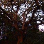 Un chêne magnifique .