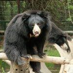 Bear at Agra Bear Rescue Facility