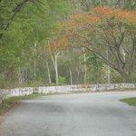 Gulmohar Trees
