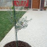 Front courtyard olive tree