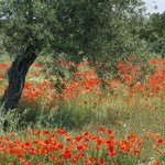 Les Coquelicots et l'olivier