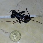 Whiptail Scorpion in Our Room