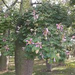 Tree with lily like flowers