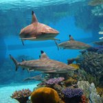 Blacktip reef sharks explore their home in Blacktip Reef