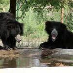 Hanging out by the pool ! Titli Bear - Vidhur Bear  hanging out