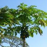 Árboles frutales (papaya)