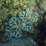 tridacna clam around 25cm wide