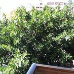Massive rubber Tree