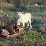 One of the white lions of the Timbavati.  First sighting in three months and Neil and Albert did
