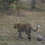 Leopard tracking impala