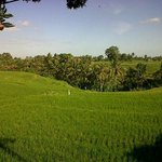 wide U-shape of our paddy fields.