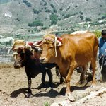 Hand ploughing with oxen 20 years ago
