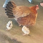 Momma chicken with her chickies ;)