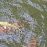 рыбки в пруду отеля