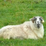 Portrait of reclining Sheep