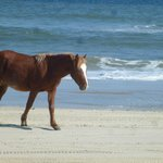One of the mustangs roaming on the beach
