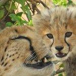 Mama Cheetah comforting her cub