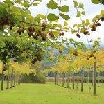 Walk amoung the kiwi vines
