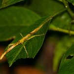 Stick Insect on the Mt. Britton Trail