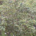 Plum tree view from balcony