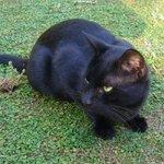 Beau chat noir