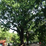 Раскидистые вековые дубы