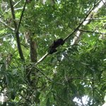 Howler monkey in trees by walkway.
