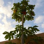 Papaya tree with ripe fruit