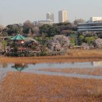 View of Ueno cherry blossoms from room