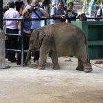 Babyelefant vor Touristen