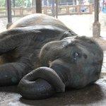 Elefant mit geringem Bewegungsradius wälzt sich auf dem Boden