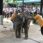 Pfleger versuchen einen Babyelefanten zu Bewegen