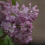 beautiful lilacs