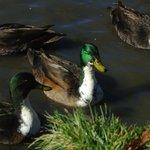 Ducks that like to quack