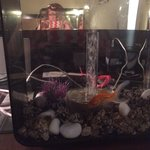 Our pet goldfish