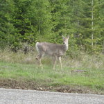 Deer appear year-round