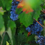 Sangiovese grapes almost ready for harvest