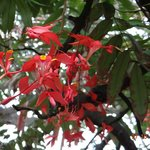 The Pride of Burma - an exceptionally rare flowering tree - Lal Bagh Walk