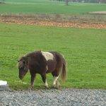 Shetland pony and pumpkin field
