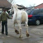 Draft horse being walked