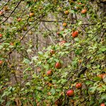 Apple trees, loaded with apples