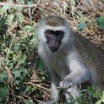 Vervet monkey, in grounds
