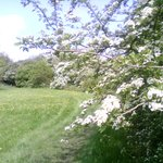 Hawthorn blossom in Telford Town Park