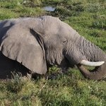 Ellie, wollowing in swamp at Amboseli