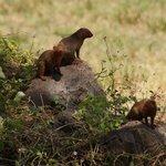 Dwarf Mongoose colony, Amboseli
