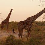 Giraffes feeding. Dusk Amboseli