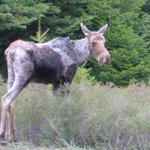 A young moose passes through