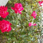 It was surprising to see roses in bloom in November! They line the parking area.