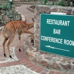 Nyala on the walkway to the dining room