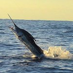 Our Marlin catch!